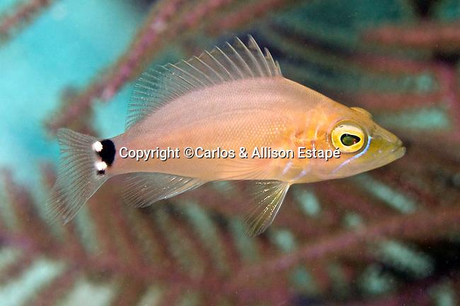 Hypoplectrus sp., hamlet, juvenile, Florida Keys