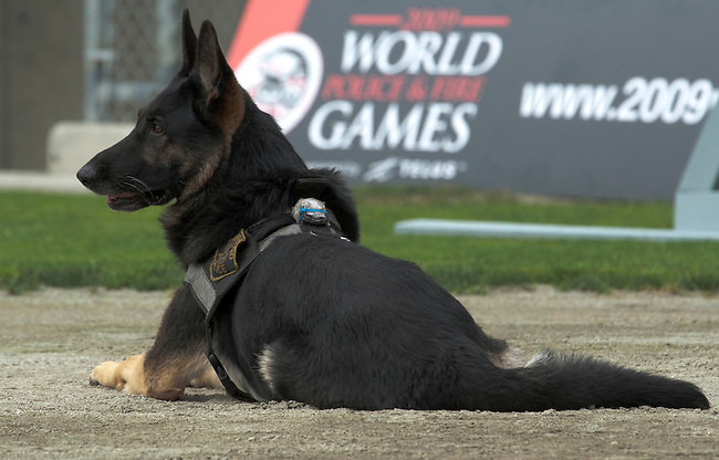 """Vancouver, Canada, Aug 6th 2009. World Police and Fire Games, Police Service Dog Competition.  Buddy, a four-and-a-half- year old male German Shepherd from the Lynnwood Police Department, Washington, USA, waits in a """"down stay"""" for his handler, Colman Langdon, to release him.  The dog must stay down for three minutes at home plate while the handler walks to the pitcher's mound and sits in a chair facing away from the dog.  Photo by Gus Curtis"""