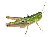 Meadow Grasshopper - Chothippus parallelus