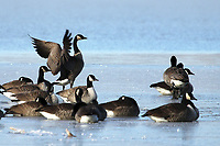 Courtesy photo/PHYLLIS KANE<br />GEESE ON ICE<br />Canada geese frolic on the ice at Lake Fayetteville. Phyllis Kane of Fayetteville took the picture New Year's Day.