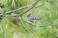 golden-crowned kinglet, Regulus satrapa, perched on pine branch in Nova Scotia, Canada