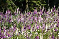 Roter Fingerhut, dichter Bestand auf einer sonnigen Waldlichtung, Digitalis purpurea, Foxglove