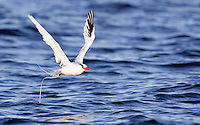 A red-billed tropicbird (Phaethon aethereus) takes off in Kino Bay, Mexico.
