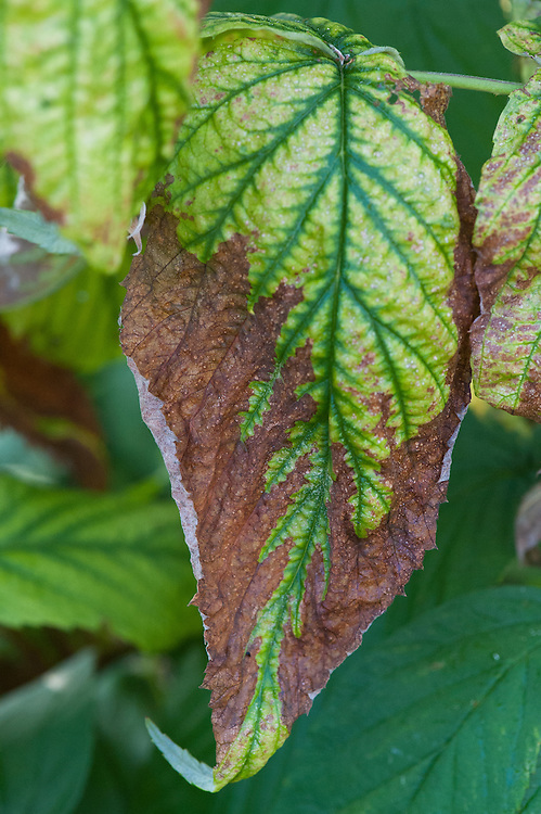 Curled, brown and dying raspberry leaves may be a sign of either drought or potassium deficiency. The latter often goes hand in hand with iron deficiency, indicated by yellowing between the leaf veins and known lime-induced chlorosis.