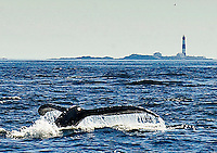 A humpback whale dives in front of a distant lighthouse in Oak Bay, near Victoria, British Columbia, Canada on  Fri., Sept. 9, 2011