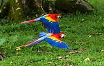 Scarlet Macaws - In Flight
