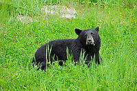 Black bear (Ursus americanus) in meadow<br /> near Pemberton<br /> British Columbia<br /> Canada