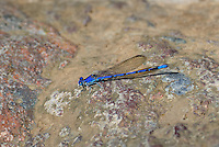 338660002 a wild male spine-tipped dancer damselfly argia extranea perches on a rock along bear creek in the coronado national forest arizona