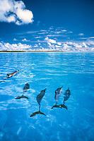 spinner dolphins, Stenella longirostris, Midway Atoll, Papahanaumokuakea Marine National Monumen, Northwestern Hawaiian Islands, Hawaii, Pacific Ocean