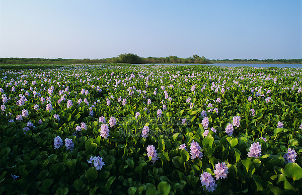 Water Hyacinth, Eichhornia crassipes, blooming, Lake Corpus Christi, Texas, USA, April 2003