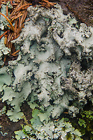 Lichens and Spruce Needles on Bark, Witherle Woods, Castine, Maine, US