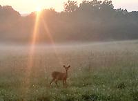 NWA Democrat-Gazette/FLIP PUTTHOFF <br /> SUNRISE BREAKFAST<br /> A deer feeds Wednesday in a meadow near Rocky Branch park at Beaver Lake.