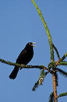 Amsel, singendes Männchen auf exponierter Singwarte, Schwarzdrossel, Schwarz-Drossel, Drossel, Turdus merula, blackbird