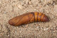 Linienschwärmer, Linien-Schwärmer, Puppe, Hyles livornica, Celerio lineata, striped hawk-moth, pupa, pupae, Le Sphinx livournien, Schwärmer, Sphingidae, hawkmoths, hawk moths, sphinx moths, sphinx moth, hawk-moths, hawkmoth