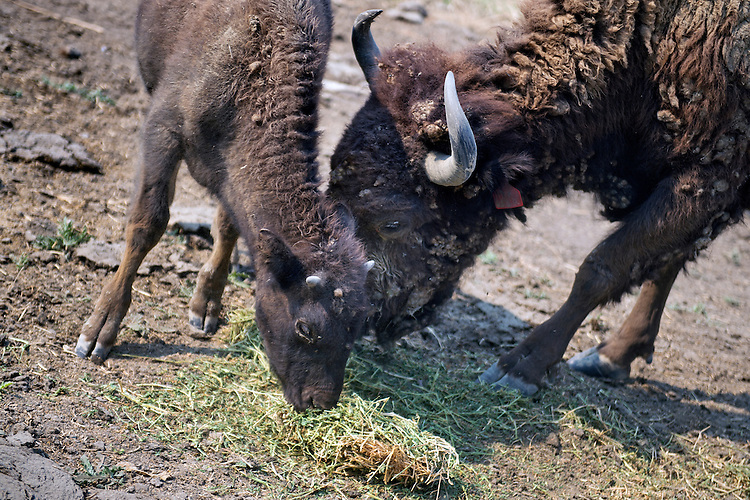 UNITED STATES - AUGUST 27: A five-month-old America bison named Fiona, eats hay on the farm of Rep. Dan Newhouse, R-Wash., that also grows hops, grapes and fruit trees, outside of Sunnyside, Wash., August 27, 2015. About 79 percent of the country's hops come from Washington state. (Photo By Tom Williams/CQ Roll Call)