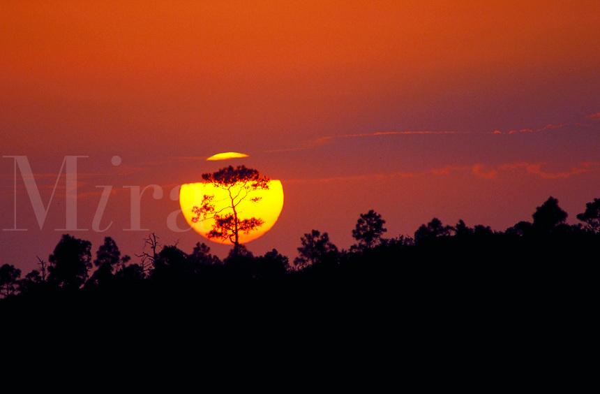 Sun setting behind Slash pine trees