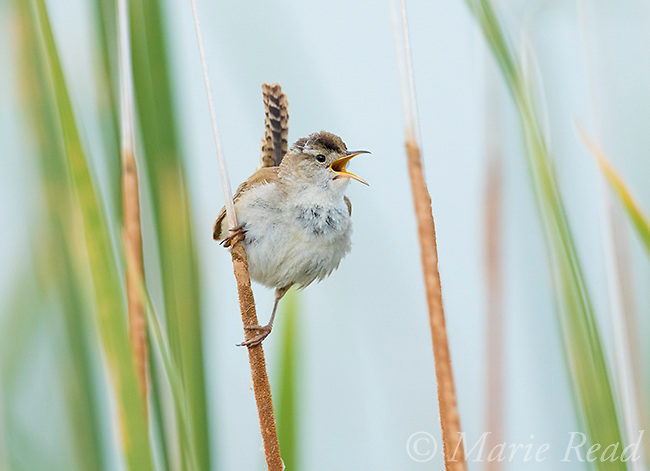 Marsh Wren (Cistothorus palustris) singing from cattail perch in marsh, Bear River Migratory Bird Refuge, Utah, USA