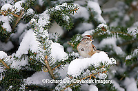 01588-008.12 American Tree Sparrow (Spizella arborea) in Balsam fir tree in winter, Marion Co. IL