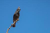 Phainopepla (Phainopepla nitens lepida), female in a tree at the Desert National Wildlife Refuge outside Las Vegas, Nevada.