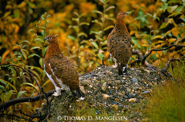 A pair of White-tailed Ptarmigans perch on a rocky patch surrounded by vivid fall colors.