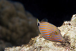 Moorea, French Polynesia; Orange-lined Triggerfish (Balistapus undulatus), juvenile, solitary, found in coral-rich areas of lagoons and outer reefs in 2-50 meters, in the Indo-Pacific Ocean region, Red Sea to E. Africa to Hawaii and Tuamotu Island in French Polynesia. S. Japan to Australia, to 30 cm , Copyright © Matthew Meier, matthewmeierphoto.com All Rights Reserved