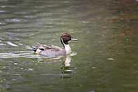 Male Northern Pintail swimming in water