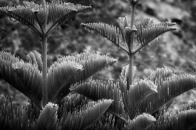 Close up of Cook Island Pine. Kauai, Hawaii