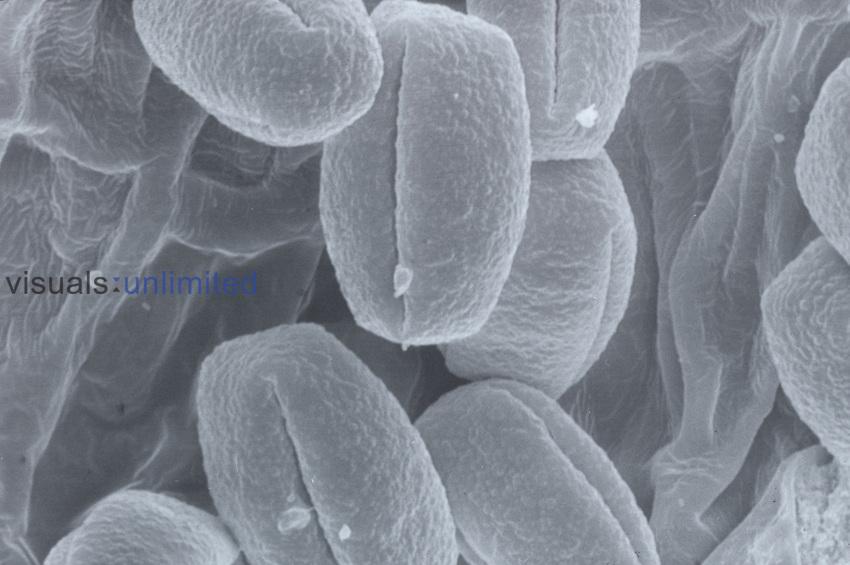 Oak pollen. SEM X380.