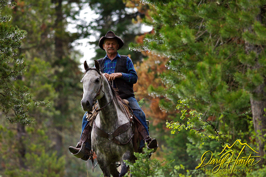 J.P. Robinson, a rancher from Freedom Idaho driving cows in the Wyoming Range. cowboys, Alpine, Wyoming,