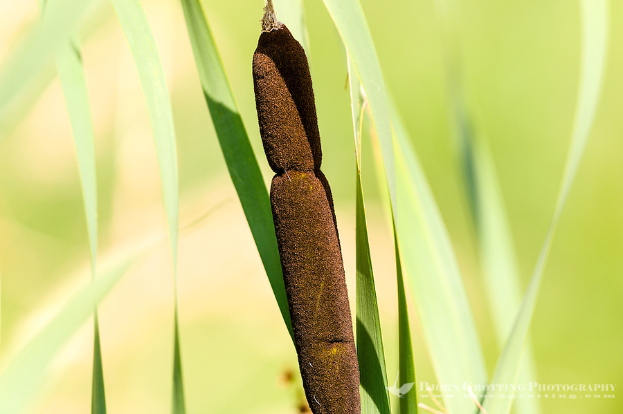 Norway, Klepp. Bullrush at Orrevatnet lake.