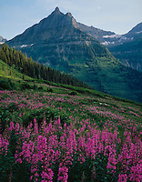 Mt. Oberlin & brilliant pink fireweed near Logan Pass,GLACIER NATIONAL PARK, Montana