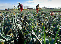 Harvesting a 20 acre field of leeks due for Tesco supermarket and to local markets. The  crop has been grown on land near Burscough  by Richard Parker of Mereside Farm, Rufford, Ormskirk, Lancashire.