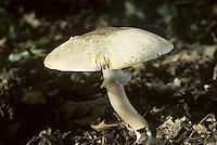 Yellow-staining Mushroom - Agaricus xanthodermus