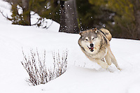 Tundra Wolf running through a snowy clearing - CA