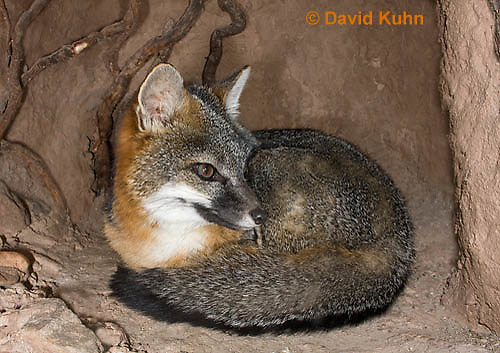 1118-0802  Gray Fox in Desert Underground Resting in Den, Urocyon cinereoargenteus © David Kuhn/Dwight Kuhn Photography