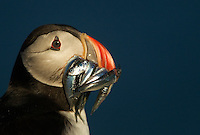 Atlantic Puffin Fratercula arctica resting with fish in its beak, Sule Skerry, Scotland, UK