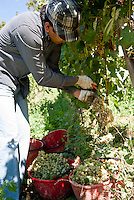 Raccolta dell'uva ai vigneti dei signori Franchini presso Montescano (Pavia) nell'Oltrepò Pavese. Un lavoratore pachistano con cittadinanza italiana assunto per la vendemmia --- Grape harvest at Franchini's vineyards near Montescano (Pavia) in the Oltrepò Pavese. A worker from Pakistan with italian citizenship employed for the harvest