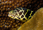 """Diving Bonaire, Netherland Antilles -- Beautiful and a bit unusual for its unusual yellow chain link pattern, a chain moray eel peers out from its hiding place.  (""""Witch's Hut"""" dive site -- also known as """"Weber's Joy"""")."""