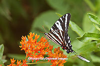 03006-00312 Zebra Swallowtail (Eurytides marcellus) on Butterfly Milkweed (Asclepias tuberosa) Reynolds Co. MO