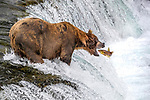 USA, Alaska, Katmai National Park, brown bear (Ursus arctos) fishing for coho or silver salmon (Oncorhynchus kisutch)