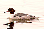 Goosander, Mergus merganser, female floating on water, Lake Kussharo-ko, Hokkaido Island, Japan, japanese, Asian, wilderness, wild, untamed, ornithology.Japan....