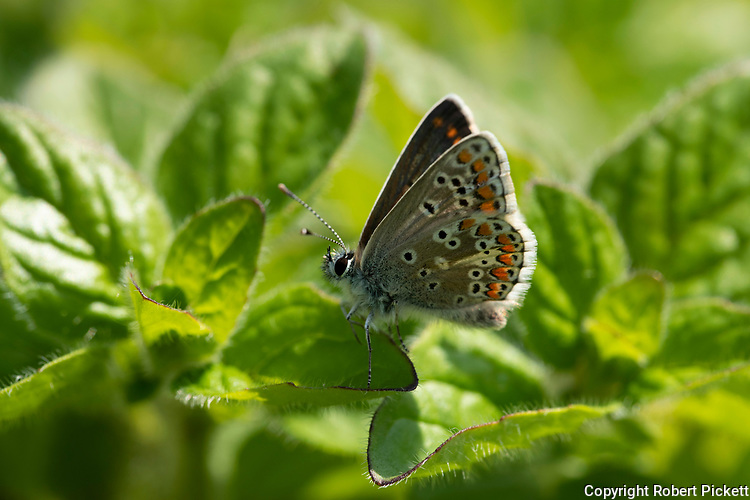 Brown Argus Butterfly, Aricia agestis, Elmley Marshes, Kent UK, Elmley Nature Reserve