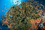 Misool, Raja Ampat, Indonesia; Wayilbatan area, a large aggregation of Regal Demoiselle fish swimming amongst a colony of Black Sun Corals