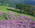 Redwood National Park, CA:  Riverbank lupine (Lupinus rivularis) and Oregon White Oak (quercus garryana) on a hillside meadow in the Bald Hills