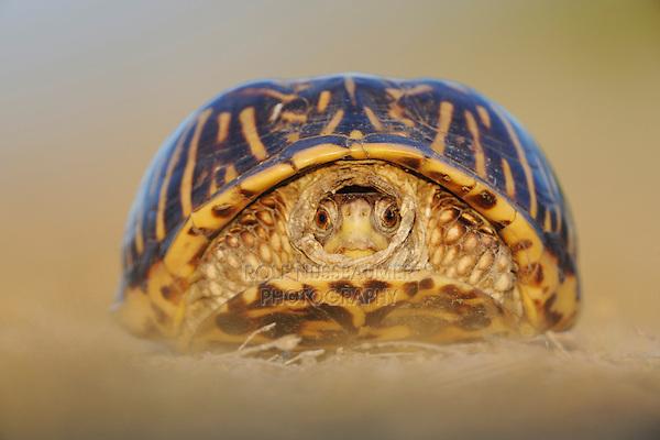 Ornate Box Turtle (Terrapene ornata), adult, Sinton, Corpus Christi, Coastal Bend, Texas Coast, USA
