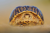 Ornate Box Turtle (Terrapene ornata), adult, Sinton, Corpus Christi, Coastal Bend, Texas Coast, USA