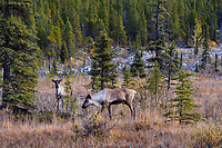 Woodland Caribou or forest-dwelling caribou (Rangifer tarandus caribou) bull and cow.  British Columbia.  Fall.
