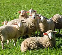 Austria, Upper Austria, Salzkammergut, Unterach am Attersee: flock of sheep | Oesterreich, Oberoesterreich, Salzkammergut, Unterach am Attersee: Schafherde