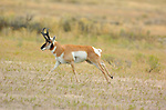 Pronghorn Male Running, North Entrance, Yellowstone National Park, Gardiner, Montana