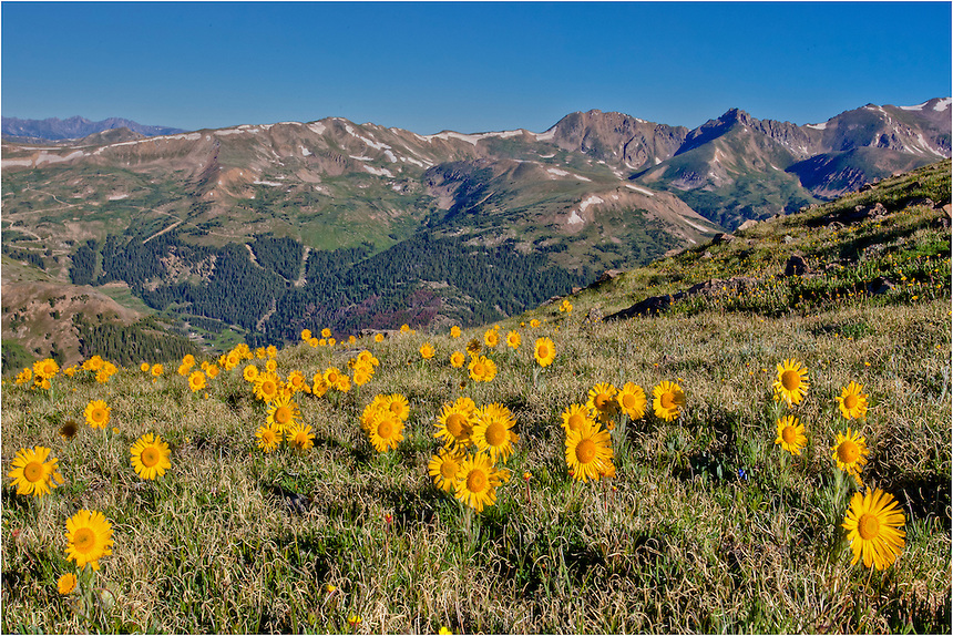 "From high up on Loveland Pass, these ""Old Man of the Mountains"" wildflowers reach towards the sun. These Colorado wildflowers can be found early in July after the snows melt, and can often be found with beautiful landscapes and mountains in all directions."